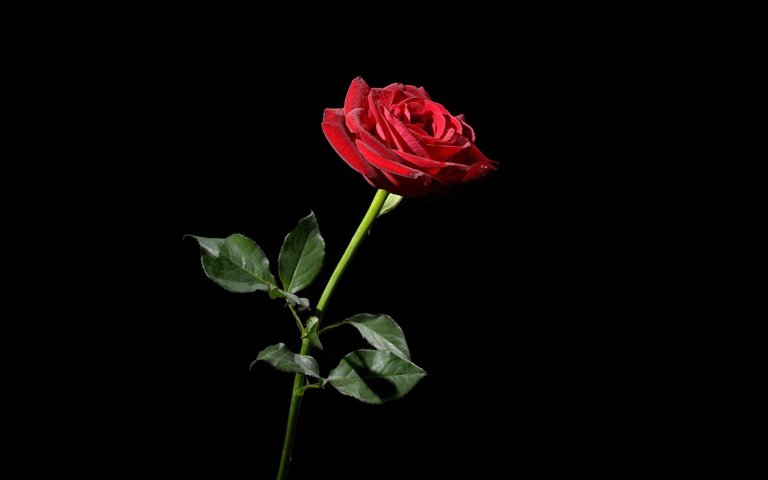 Black And Red Rose Wallpaper 8  The Photos Club  HD