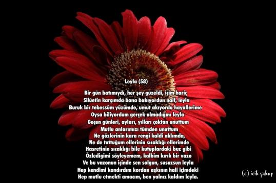 red-daisy-macro